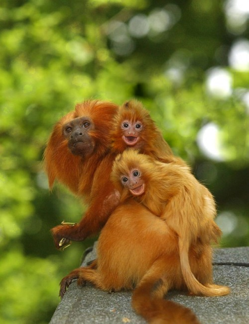 12_Golden Lion Tamarins Ride