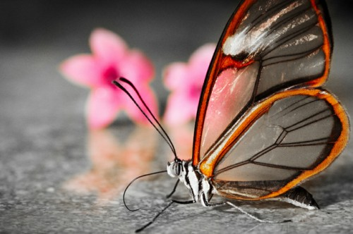 25_Transparent Butterfly