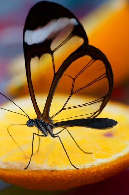 28_Glasswing Butterfly