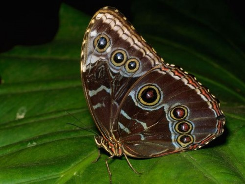 2_Blue Morpho Butterfly