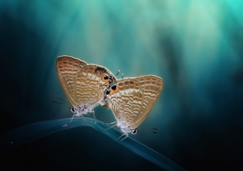 7_Butterfly Couple