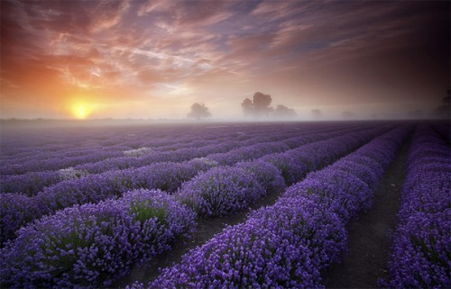 15_Lavender Sunrise