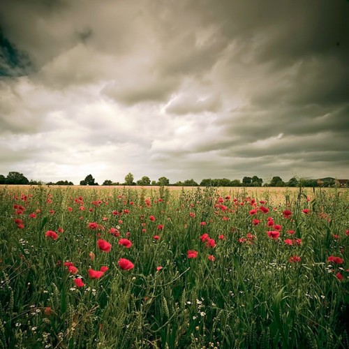 31_Dark Poppies