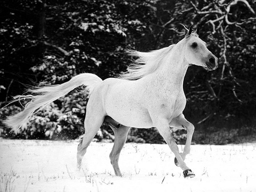 5_White Horse Desktop Wallpaper